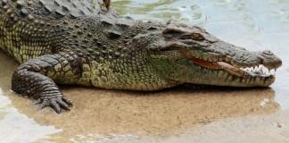 Allo Zoo di Napoli arrivano il coccodrillo e l'ippopotamo